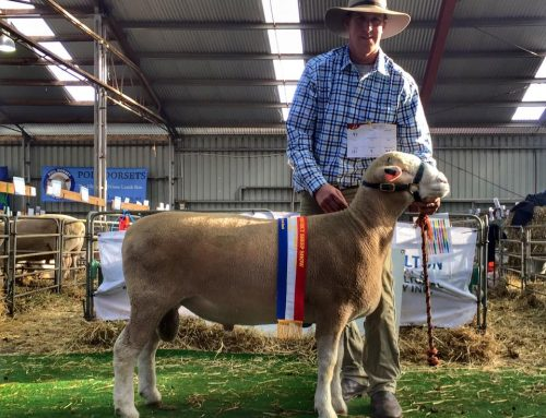 Junior Champion Ram Sheepvention 2017