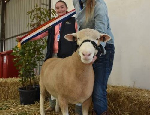 Supreme champion Poll Dorset exhibit – Senior Champion Ewe