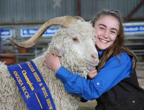 Champion Buck Win @ Bendigo Sheep & Wool Show